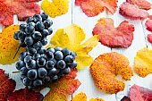 Blue grape and october multi colored leaves autumn background