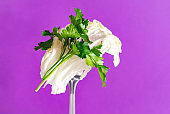 1 sprig of fresh green parsley lettuce  on a fork on a purple background, greens