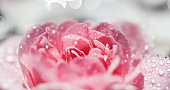 Pink rose flowers and white petals with drops and blur light background. Aromatherapy and spa concept