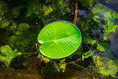 Lotus leaf, water drop or dew on fresh green plant in garden pond. Abstract reflection in lake, macro nature background. Flat lay, copy space.