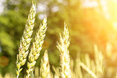 Green wheat rye landscape in sun day. Golden harvest background. Bread plant agriculture farm cereal crop in sunset.