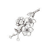 Cherry blossom. Hand drawn illustration in sketch style. Isolated on white. Freehand sakura outline. Spring flower on tree brunch.