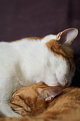 Two cats lying together, one licking the face of other
