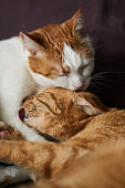 Two white and ginger cats washing each other