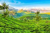 Tea plantation nature background landscape