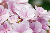 Pink colored flowers,Hydrangea macrophylla,Forever Summer,Endless Summer