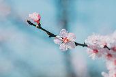 Blooming apricot flower,Prunus sibirica