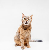 Tabby red cat meowing on a white background.