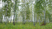 Selective focus. Slender birches. Summer Siberian landscape. Travel to Russia