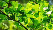 Close-up brightly green leaves of Ginkgo tree (Ginkgo biloba), known as ginkgo or gingko in soft focus against background of blurry foliage.  Fresh wallpaper and nature background concept