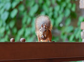 Red squirrel sits on shelf and sniffs walnut