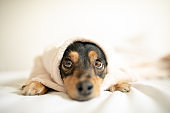Cute mixed breed dog lying on bed in bedroom