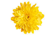Yellow chrysanthemum on a white background close-up