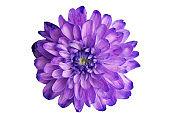 Purple chrysanthemum on a white background