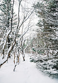 Winter day in a beautiful forest with snow on trees