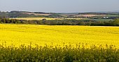 rapeseed field canola or colza in Latin Brassica napus