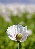 poppy flower, opium poppy in latin papaver somniferum