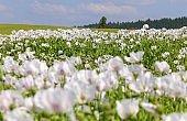 poppy field, opium poppy in latin papaver somniferum