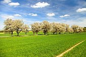 road field and alley of flowering cherry trees