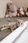 gray british shorthair cat lies on the bed and looks at us. full length