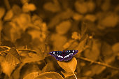 Mysterious butterfly