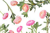 "Spring flowers. Pink Ranunculus flower isolated  on white background. Flat lay, top view, copy space. Summer Pattern  for invitation to party or holiday""n"
