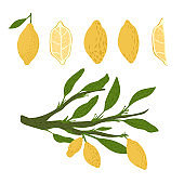 Set from lemon, twigs with foliage on white background. Abstract botanical sketch hand drawn in style doodle.