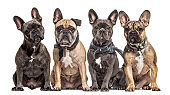 Many French bulldog in a row facing the camera, isolated on white