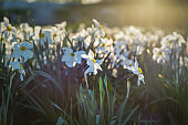 Field of blooming daffodils in park. Nature background. Evening light