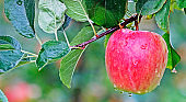 Ready to pick apple