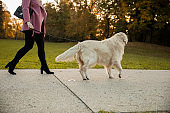 Low section of unrecognizable woman taking her golden retriever for a walk