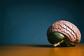 Anatomical model of human brain