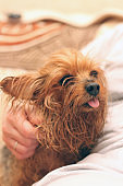 A wet Yorkshire terrier with its tongue hanging out is sitting next to the owner. A human hand strokes a small dog after bathing.