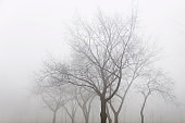 Trees in the foggy winter day