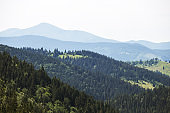 Green caprathian mountains landscape pine forest
