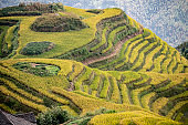 Terraced agriculture showing mountainous fields of maturing yellow rice