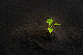 Young green plant grow sequence with light shining down on trunk and black soil background. Germinating seedling grow step sprout growing from seed. Nature ecology and growth concept with copy space.