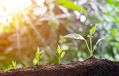 Agriculture and plant grow sequence with morning sunlight and bokeh green blur background. Germinating seedling grow step sprout growing from seed. Nature ecology and growth concept with copy space.