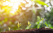 Plant grow sequence and agriculture with morning sunlight and bokeh green blur background. Germinating seedling grow step sprout growing from seed. Nature ecology and growth concept with copy space.