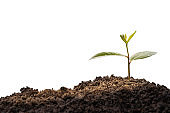 Green plant, germinating seedling sprout growing from soil isolated on white background with clipping path. Nature ecology and growth concept with copy space.