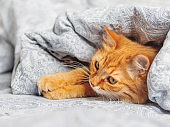 Cute ginger cat sleeps under the blanket. Fluffy pet has a nap in bed. Cozy morning bedtime.