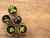 Basil seedlings in biodegradable pots on wooden table. Top view on green plants in peat pots. Baby plants sowing in small pots. Trays for agricultural seedlings.