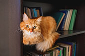 Cute ginger cat lying on bookshelf. Fluffy pet staring in camera from bookcase shelf. Funny animal among books. Cozy home.