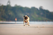 dog pug breed running on the beach with life jacket so fun and happiness,Dog vacation concept