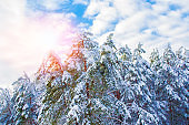 Frozen winter forest with snow covered trees. outdoor. Falling snowflakes