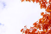 colorful leaves. Indian summer. foliage