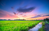 Sunset scene over rice fields in harvest season in peaceful countryside