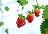 Ripe strawberries on the rack in the garden.