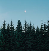 evergreen trees in the winter