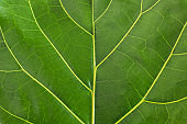Ficus Lyrata or Fiddle Leaf Fig leaf up close stock photo